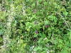 plantscape_taubnessel_k
