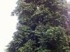 tree_kastanie_k