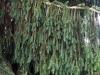 treescape_tanne_k