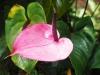 flamingo_pink