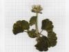 winter_pelargoniumk