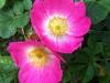 heckenrose_pink_k