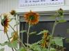 Sign & Sunflower