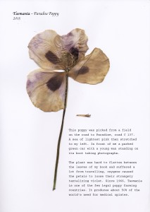 Broken Paradise Poppy