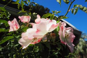 Last summer roses