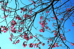 Ceiba speciosa again
